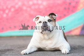 bulldog with underbite lying down in front of painted wall
