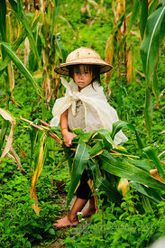Young Hmong Girl Collecting Corn Stalks