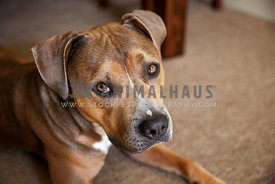Worried looking Amstaff mix lying on carpet under table looking up at camera