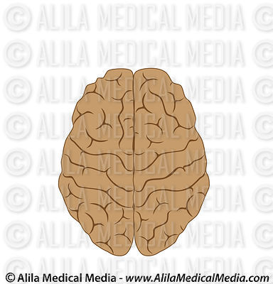 Human brain, medical drawing.