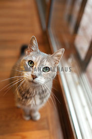 older gray dilute calico cat looking up from dining room floor