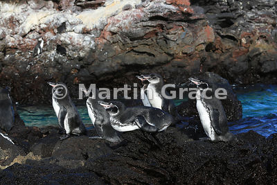 Group of 5 adult Galapagos Penguins and one juvenile (Spheniscus mendiculus), Sombrero Chino, Galapagos Islands