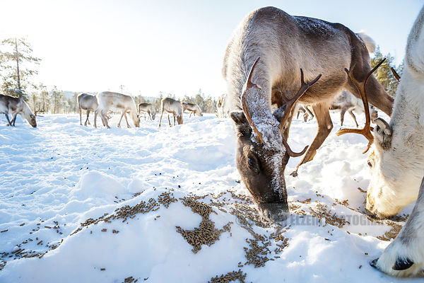 Reindeer eating pellets in strong winter backlight sun