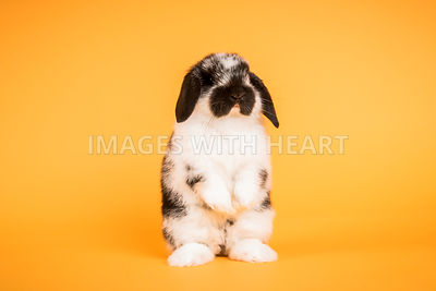 Standing Holland Lop Bunny