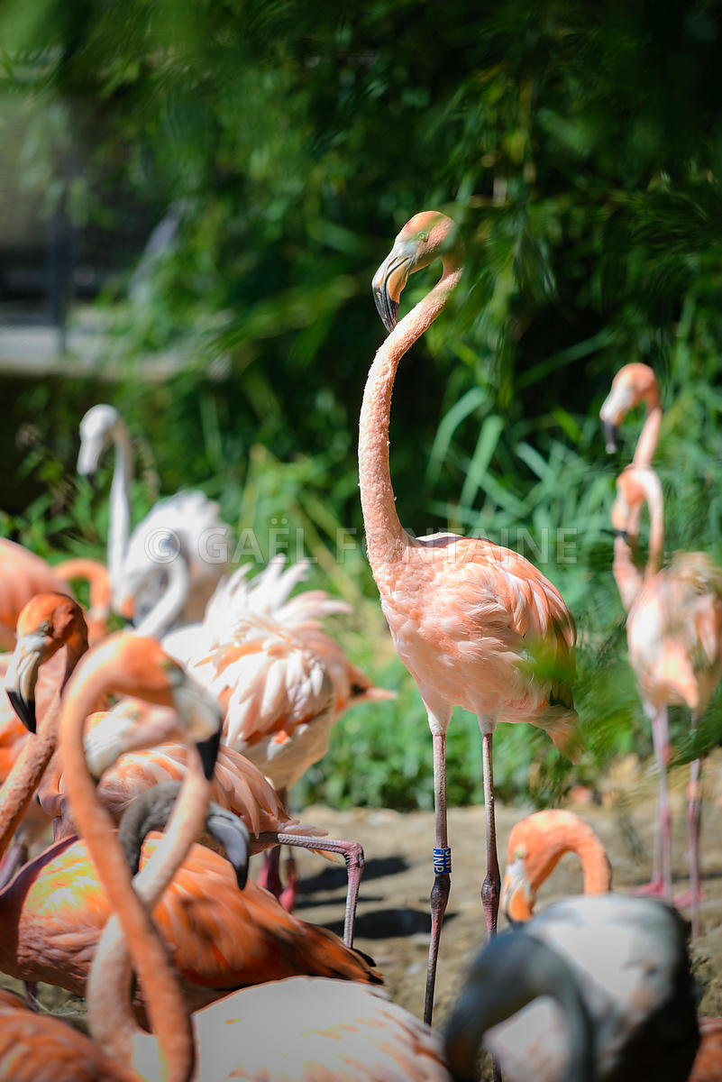 Flamants de Cuba ou flamants roses (phoenicopterus)
