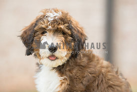 close up head shot of bernadoodle puppy