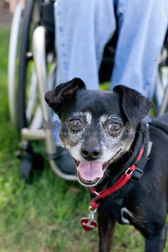 little-black-dog-with-owner-in-wheelchair