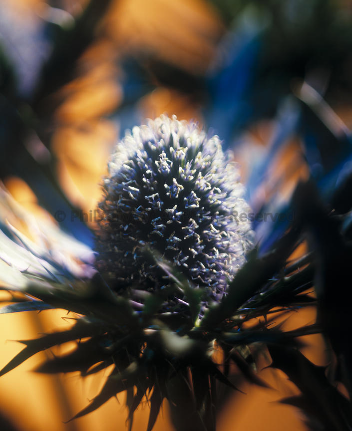 Eryngium alpinum close up of sea holly flower
