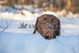 Portrait of apathetic chocolate labrador dog, peeping out from the snowdrift with snow on muzzle