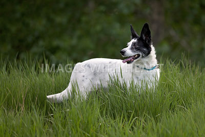 Black and white mixed breed standing in tall green grass
