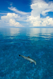 Bottlenose dolphin (Tursiops truncatus) in shallow water over a sand bank. Sandy Ridge, Little Bahama Bank, Bahamas. Tropical...
