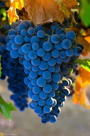 Syrah Grapes #3