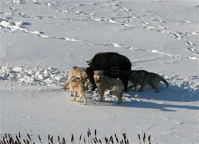 Aerial view of Timber wolves (Canis lupus) attacking a Bison calf (Bison bison) on the Arctic circle in Northern Canada.  Tak...