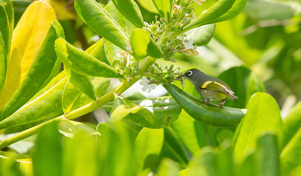 The critically endangered Mauritius Olive White-Eye