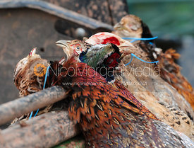 Game shooting images - dead pheasants