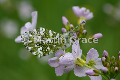 Under side of Orange Tip butterfly (Anthocharis cardamines) on flower head of Lady's Smock (Cuckoo Flower) (Cardamine pratensis)