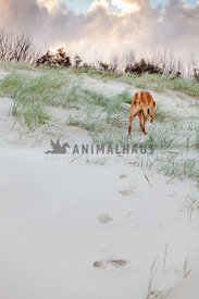 Large fawn dog walking away through sandy dunes at sunset
