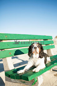 cavalier king charles laying on green bench