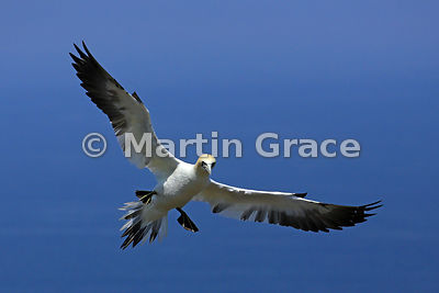 Sub-adult (4th-year) Northern Gannet (Morus bassanus) in flight, Bempton Cliffs (RSPB), East Riding of Yorkshire, England