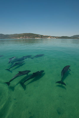A pod of Bottlenose dolphins (Tursiops truncatus) swimming into the Sado river, Portugal, July