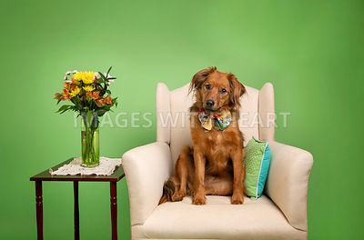 Dog sitting in chair looking at camera with green background