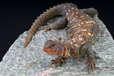 Ocellated Spiny-tailed lizard (Uromastyx ocellata)