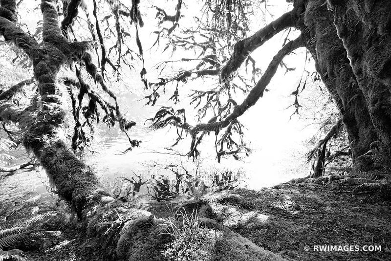 MOSS COVERED TREES LAKE CRESCENT OLYMPIC NATIONAL PARK WASHINGTON BLACK AND WHITE