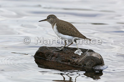 Common Sandpiper (Actitis hypoleucos) standing on a rock defaecating,  Lochindorb, Inverness-shire, Scotland: Image 2 of 4