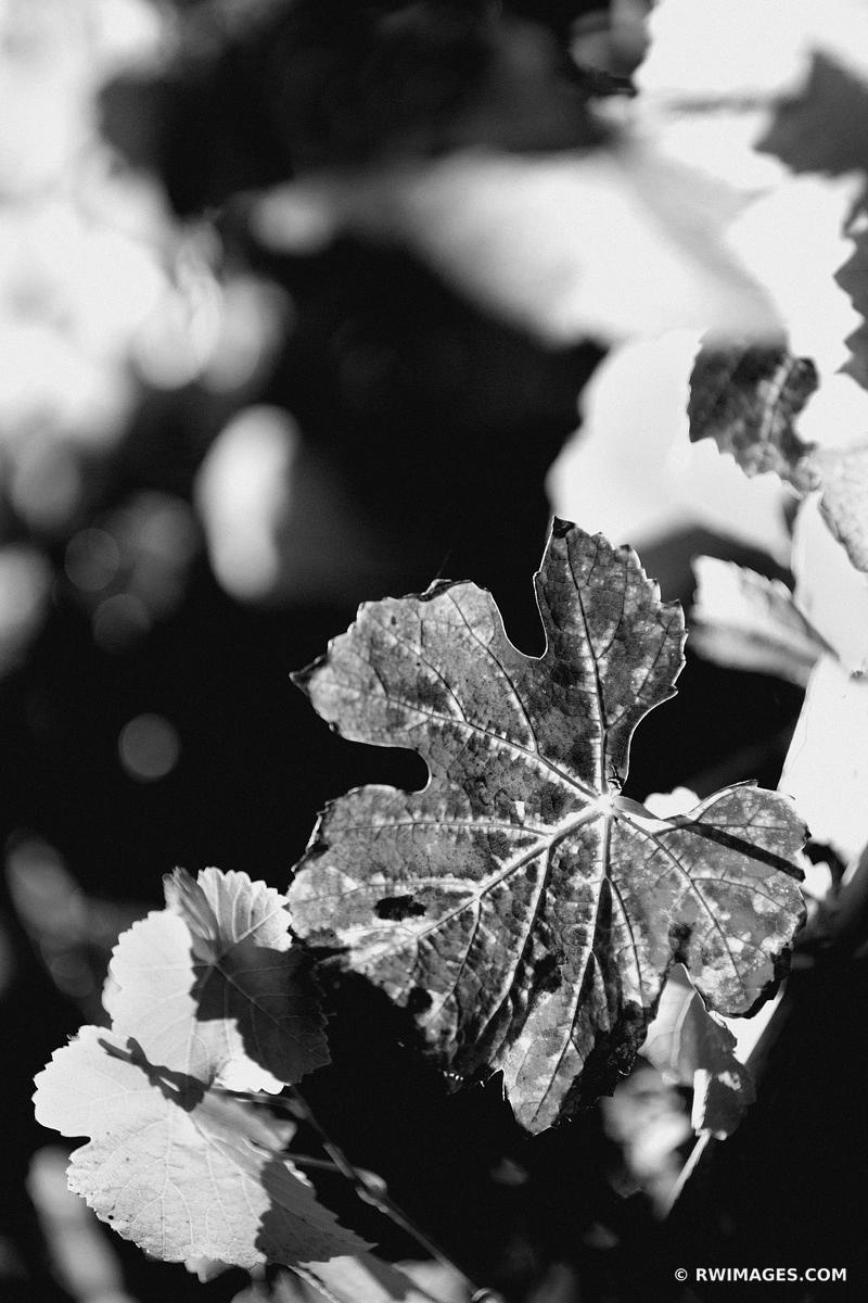 GRAPEVINE LEAF VINEYARD NAPA VALLEY CALIFORNIA BLACK AND WHITE
