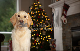 Young lab dog in front of Christmas tree in house