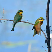 Little bee-eater with outstretched wing