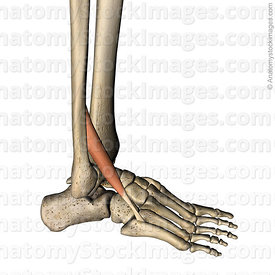 lowerleg-musculus-peroneus-tertius-fibularis-muscle-tendon-metatarsi-v-fibula-lateral-side
