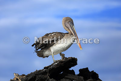 Brown Pelican (Pelecanus occidentalis urinator), Sombrero Chino, Galapagos Islands