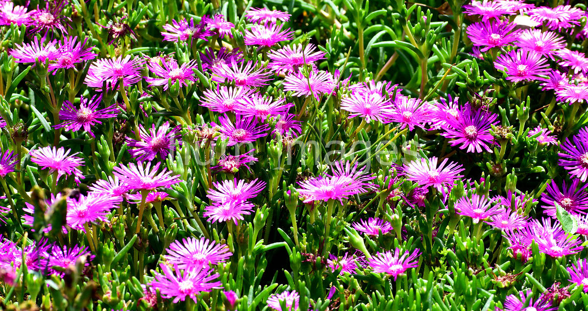 Flower Stock Photos: Pink Flowers in Garden