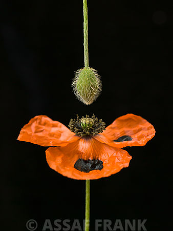 Close-up of orange poppy with flower bud hanging