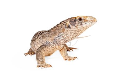 Young Savannah Monitor Lizard