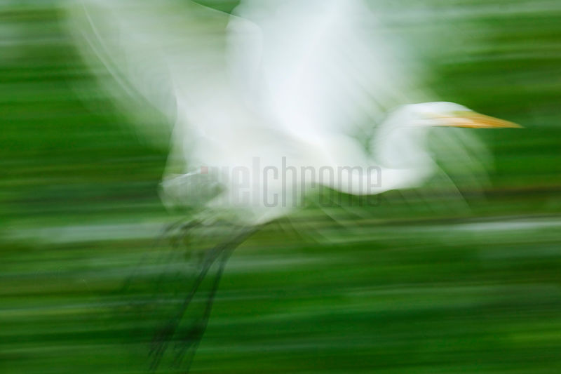 Great Egret in flight (motion blur), Transpantaneira Highway, Pantanal, Mato Grosso, Brazil