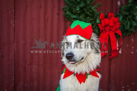 dog in elf hat by barn