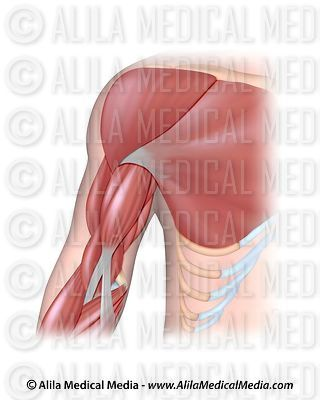Arm muscles anterior, unlabeled.