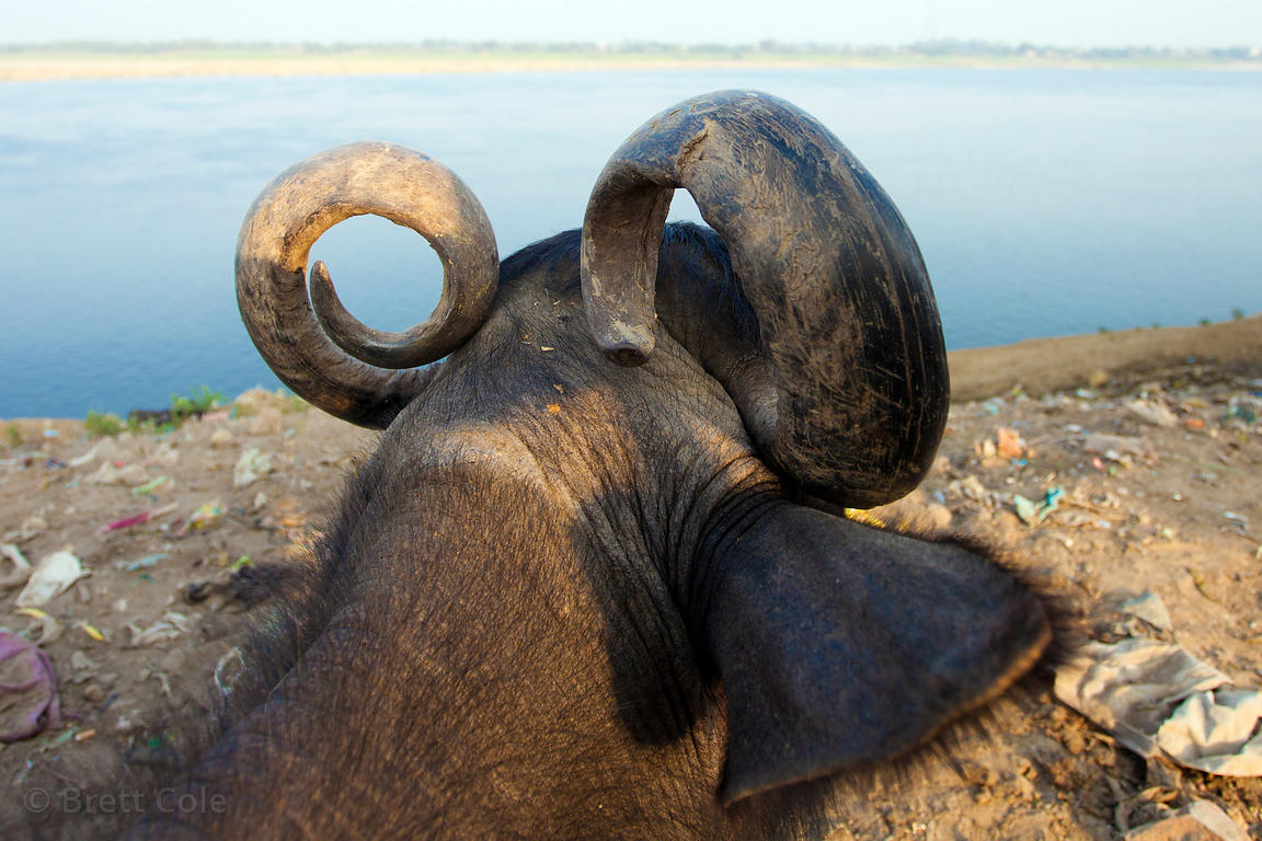 Curved horns of a water buffalo above the Ganges River, Varanasi, India.