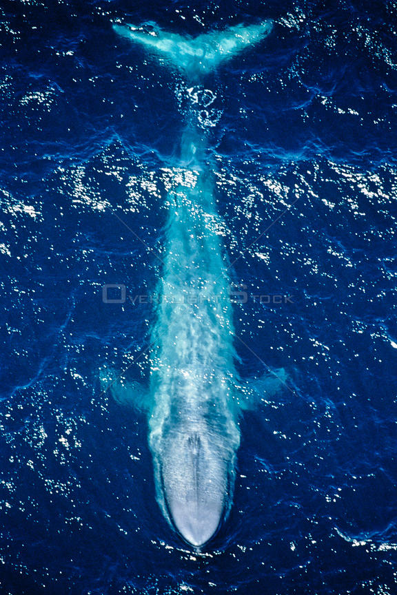 Blue whale (Balaenoptera musculus) aerial view of the coast of California, USA. Pacific Ocean.