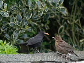 Blackbird Turdus merula colour ringed male with young Holt Norfolk spring