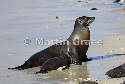 Galapagos Sea Lion (Zalophus californianus wollebacki or wollebaeki) cow and her young pup on the beach at Sombrero Chino, Ga...