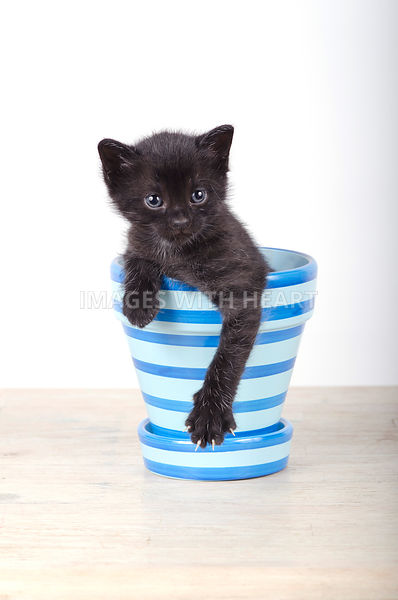 Black kitten inside a flower pot