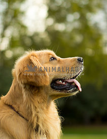 happy golden retriever side profile in park