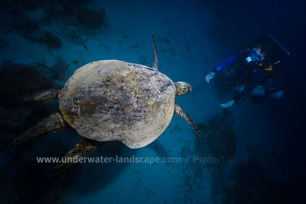 Hawksbill sea turtle with diver