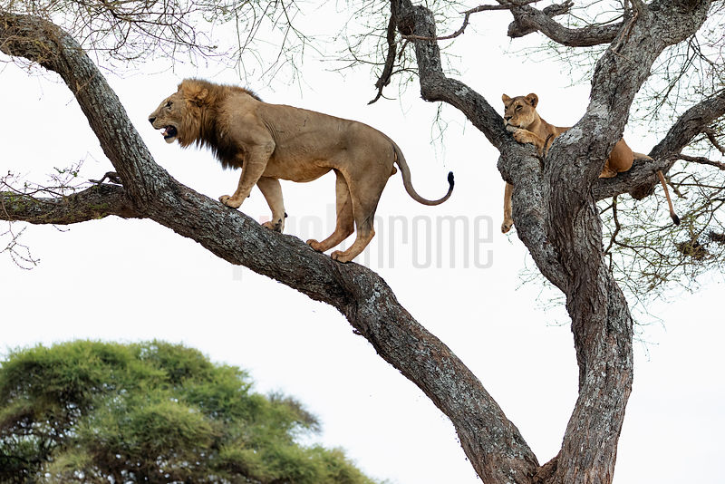Male Lion Reacting to a Female's Scent in an Acacia Tree