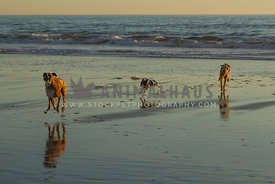three dogs running on beach at sunset