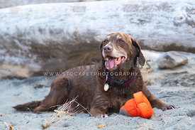 chocolate lab with gray face lying in sand with orange toy
