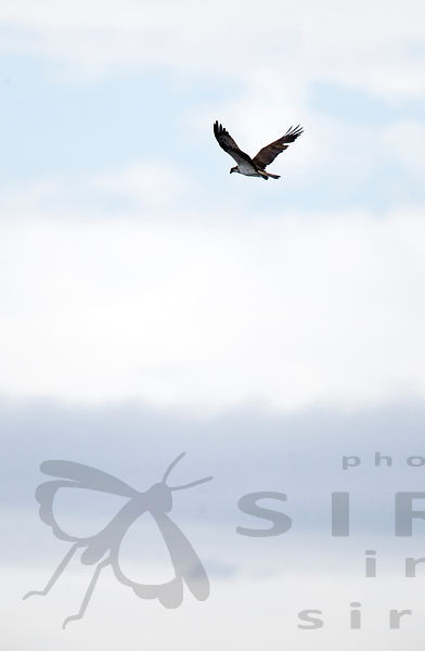 Osprey above the Lake Puurijärvi